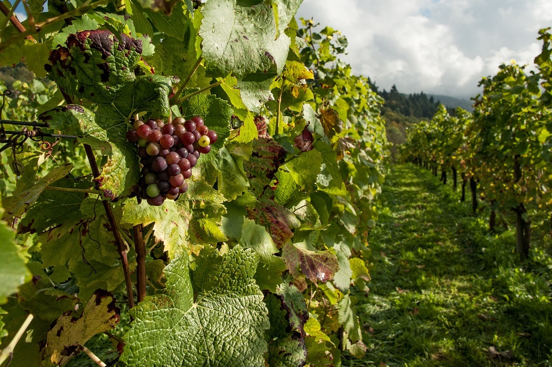 A row of grapevines in a vineyard.