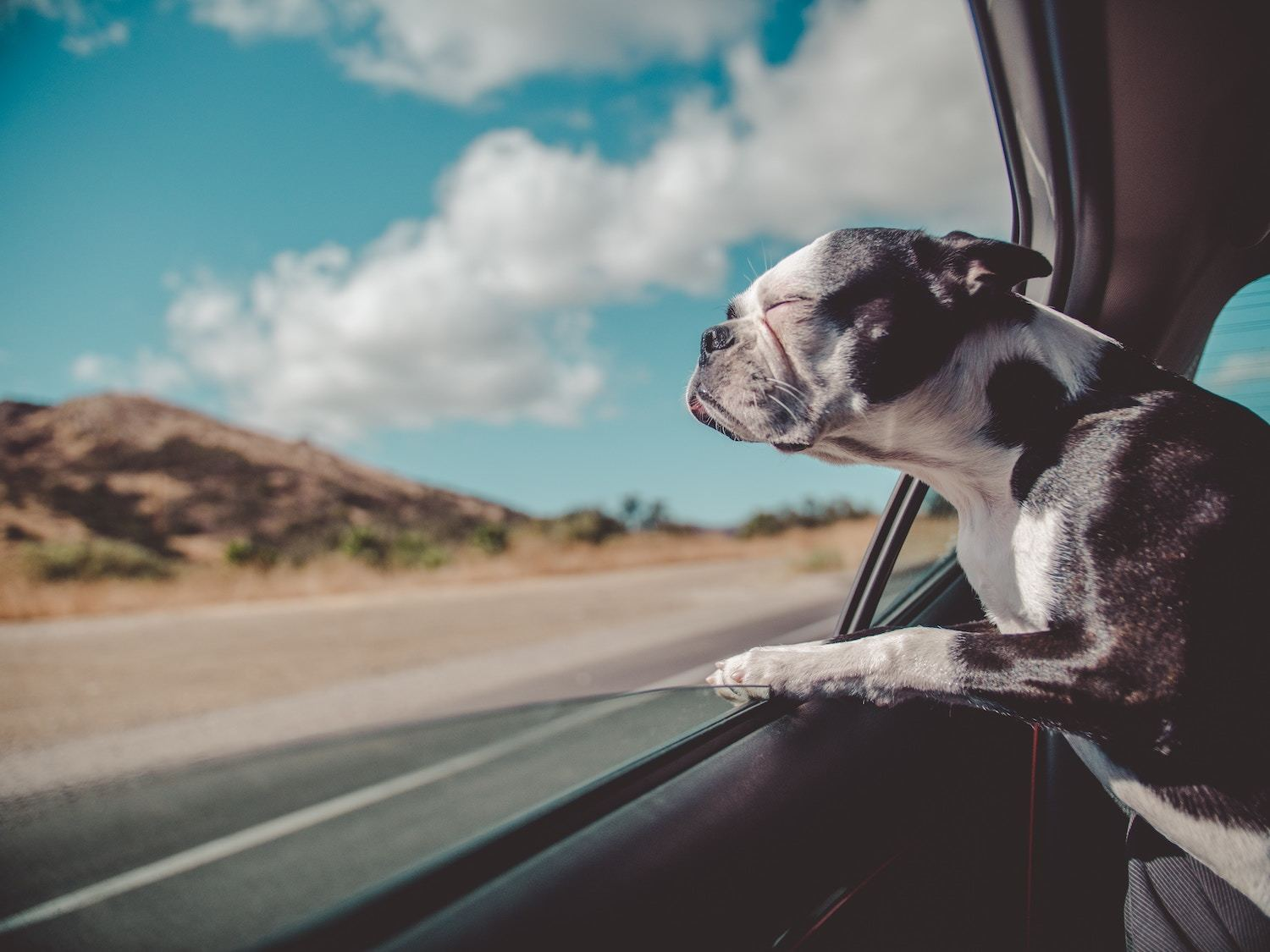 a dog sticks his head out the car window