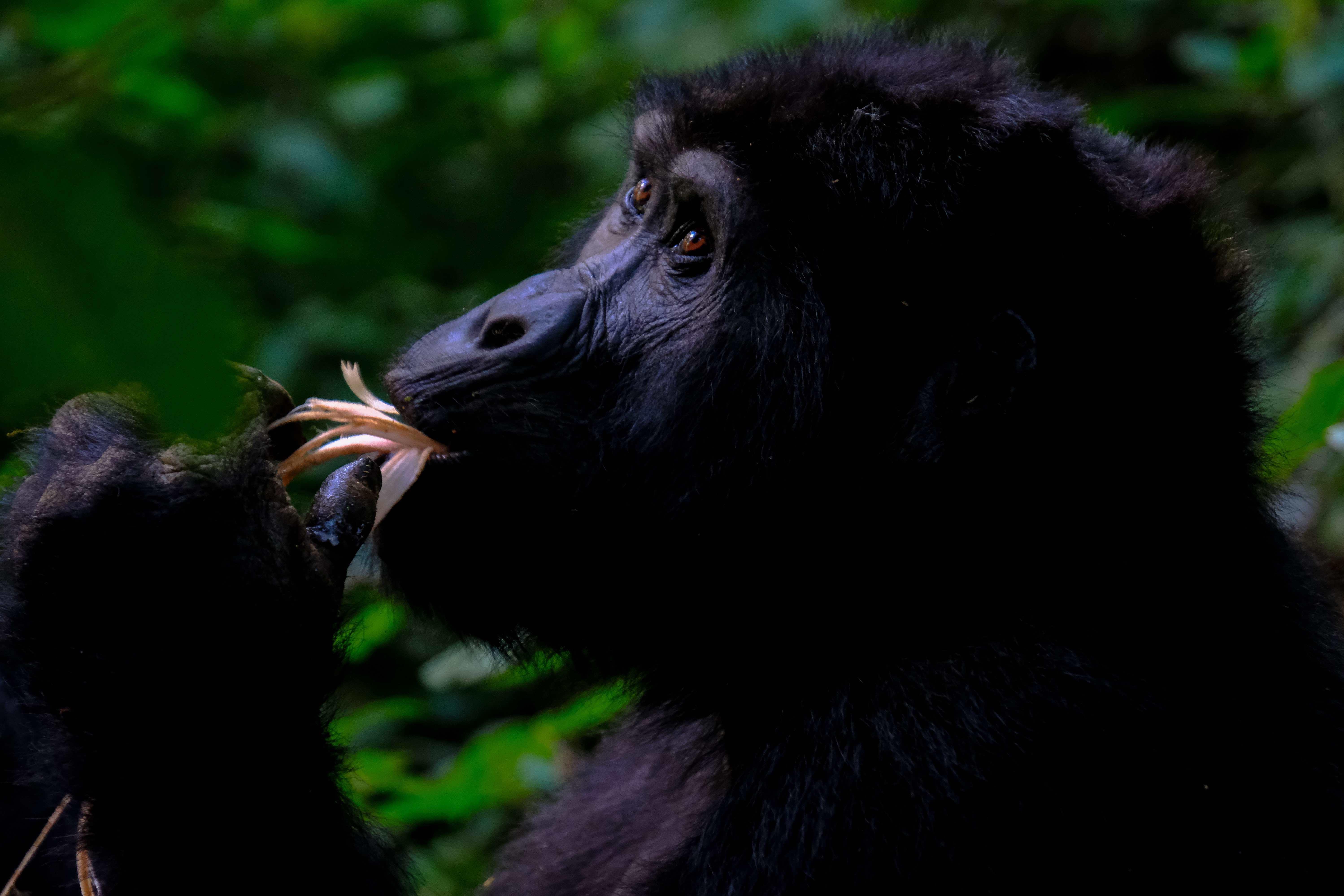 gorilla imagery